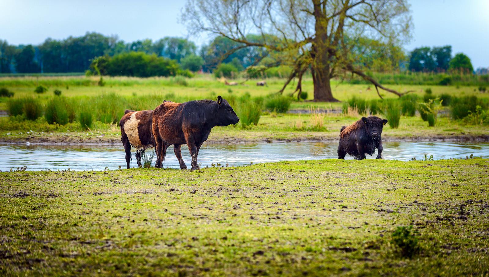 Die Grasfresser - Landschaftspflege